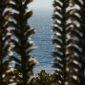 Esalen_ocean_through_flowers