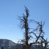 lake_tahoe_crooked_tree