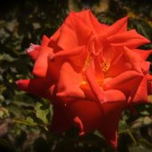 Red_rose_in_the_garden