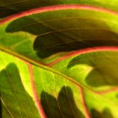 green_and_red_leaf